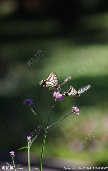 蝴蝶双飞图片