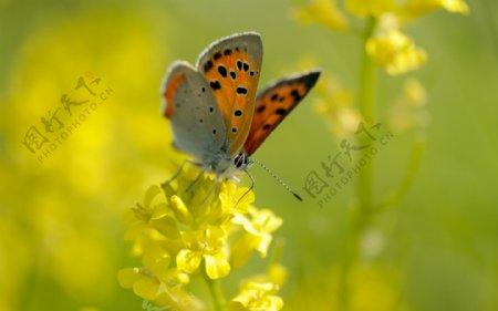 唯美油菜花上蝴蝶图片