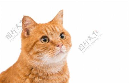 可爱胖猫咪图片