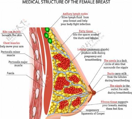 乳房结构图