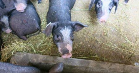 黑猪生物世界家禽家畜动植物