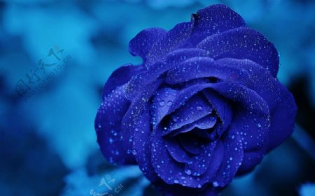 蓝玫瑰花桌面壁纸
