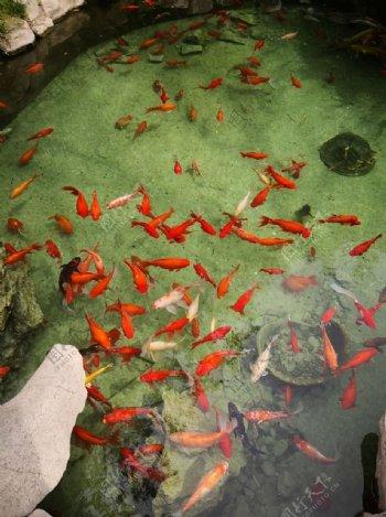 泰安泰山岱庙清澈鱼儿