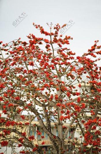 红花树花木棉花10米高大树花
