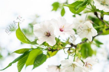 清新浪漫樱花摄影图