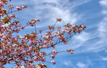 樱花春天蓝天粉色树木