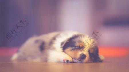 小奶狗睡觉照片