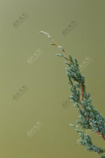松树叶纯色背景