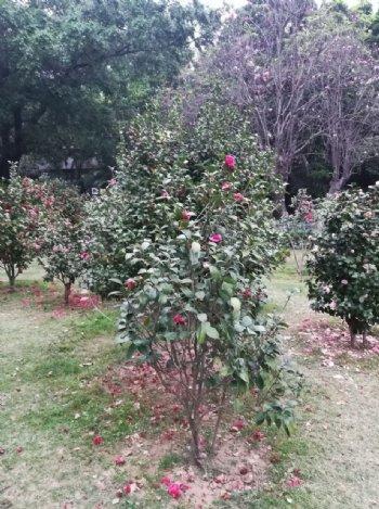 山茶花花园风景图片