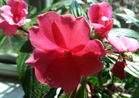 红花太阳花红色绿植园林图片