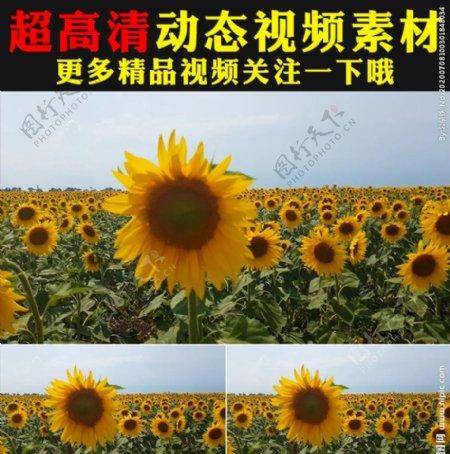 向日葵太阳花花海植物视频素材