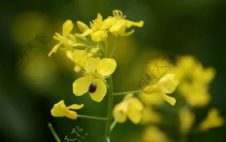 七星瓢虫油菜花图片