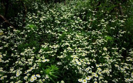 花海背景小菊花平铺自然景观设计图片