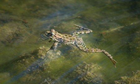 水中青蛙摄影图片
