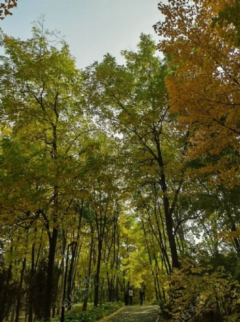 秋天红色枫树林树林图片