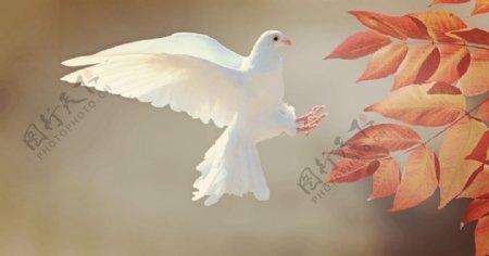 白色鸽子树叶图片