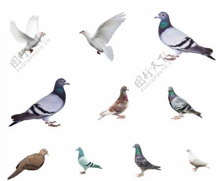 鸽子分层素材图片