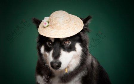带帽子的哈士奇图片