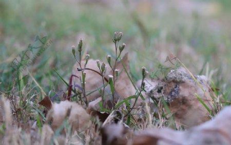秋天的蒲公英图片