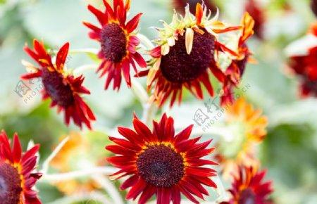 红色太阳花图片