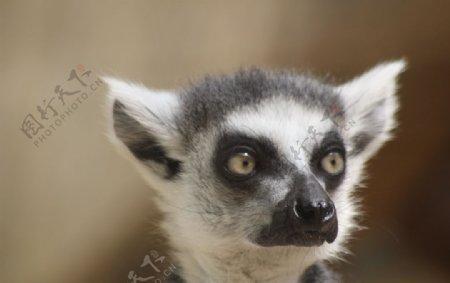 可爱的狐猴图片