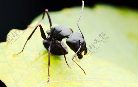 大蚂蚁图片