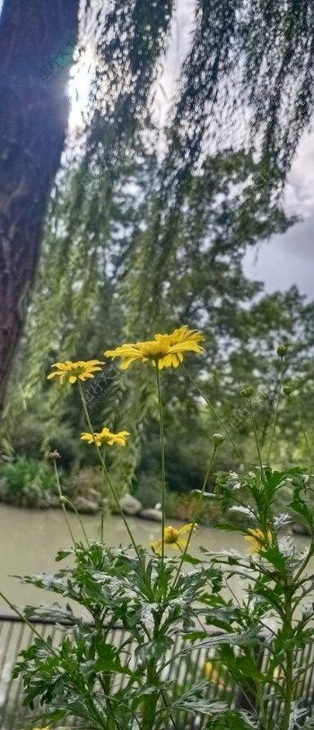 柳树旁的野菊花图片