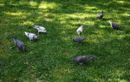 觅食的鸽子图片