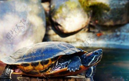可爱的小乌龟图片