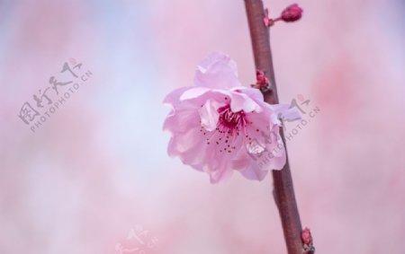春天一枝美丽海棠花图片