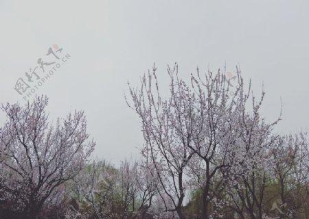 花美丽绽放春天樱花樱图片