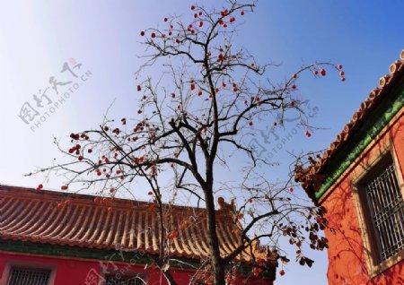 北京紫禁城故宫博物馆柿子图片