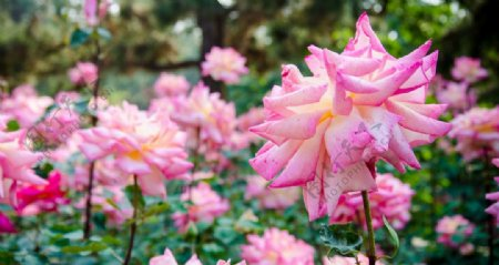 花园牡丹花图片