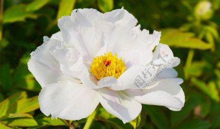 白色牡丹花照片图片
