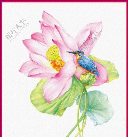 荷花小鸟插画图片