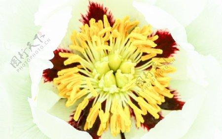 初夏白色牡丹花花蕊摄影图图片