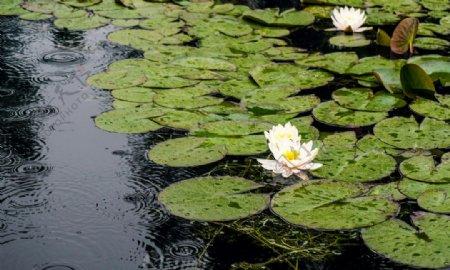 池塘里白色清新荷花拍摄图片