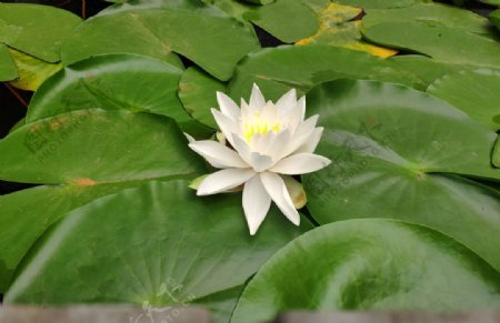 白色纯洁的莲花特写图片
