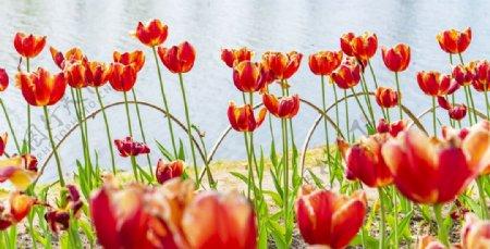 湖边盛开的郁金香图片