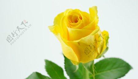 黄色玫瑰高清大图图片