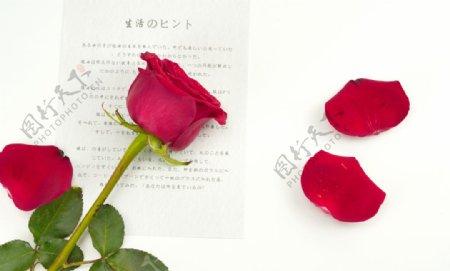 唯美玫瑰花摄影图图片