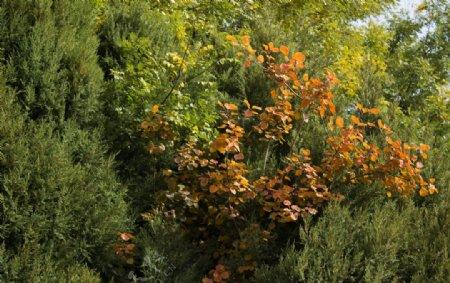 松树与红叶图片