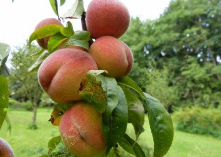 树枝上成熟的水蜜桃图片