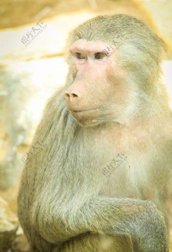 猴子特写图片