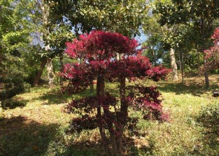 红枫树图片