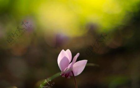 美丽的仙客来鲜花图片