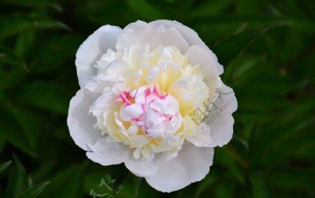 漂亮的牡丹花图片