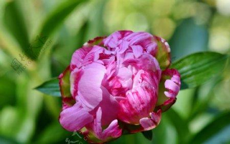 花开富贵的牡丹花图片