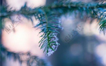 松树叶图片