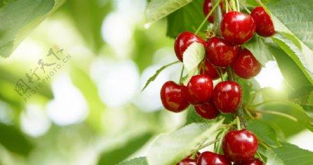 红红的大樱桃图片